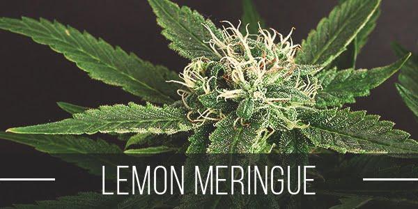 Lemon Meringue Strain Review