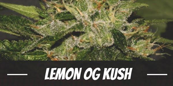Lemon OG Kush