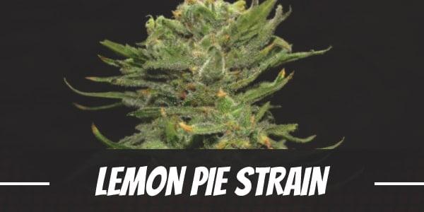 Lemon Pie Strain