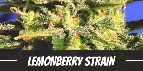 Lemonberry Strain