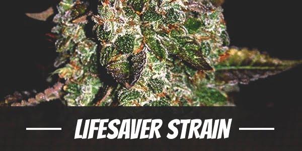 Lifesaver Strain