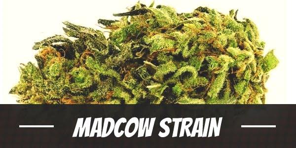 Madcow Strain