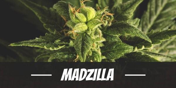 Madzilla