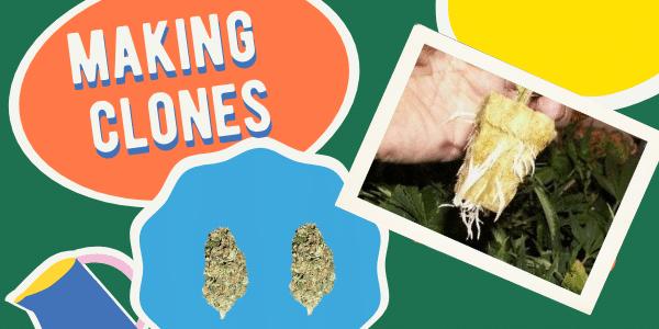Making Marijuana Clones