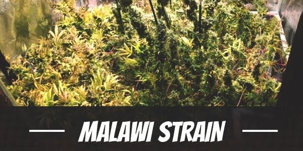 Malawi Strain