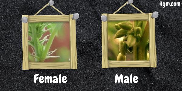 Male and Female Marijuana