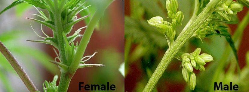 Male vs female cannabis buds