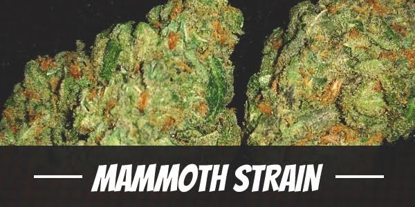 Mammoth Strain
