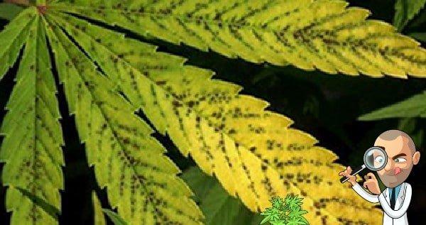 Manganese deficiency in marijuana plants