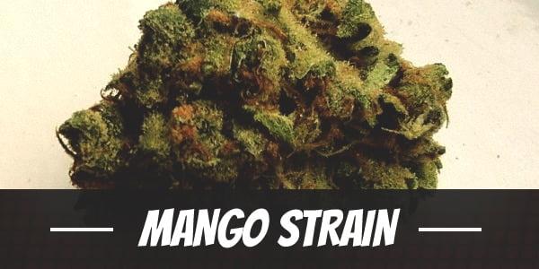 Mango Strain
