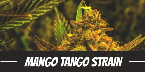 Mango Tango Strain