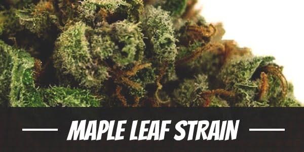 Maple Leaf Strain