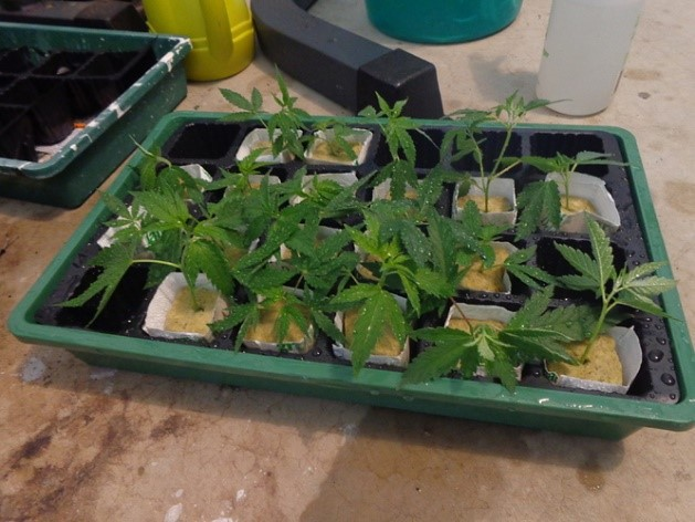 The clones for the next grow