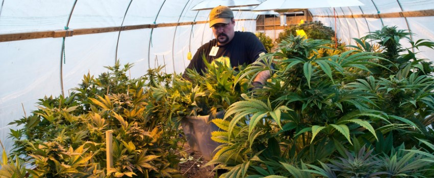 Marijuana Growing Operation Owner requirements