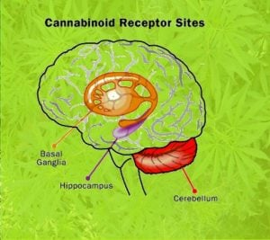 Cannabis effect in the brain