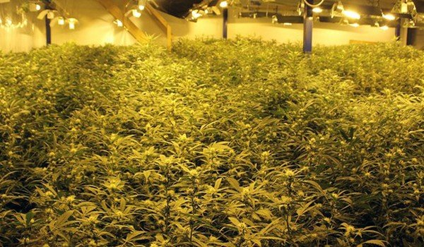 Marijuana grown indoors