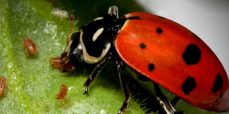 Marijuana pests and bugs - control and identification