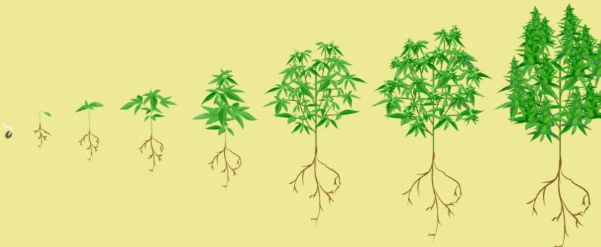 Marijuana plant growth