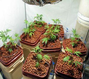 Cannabis planting medium hydroponic