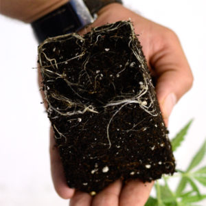 Cannabis roots nutrient absorption by osmosis