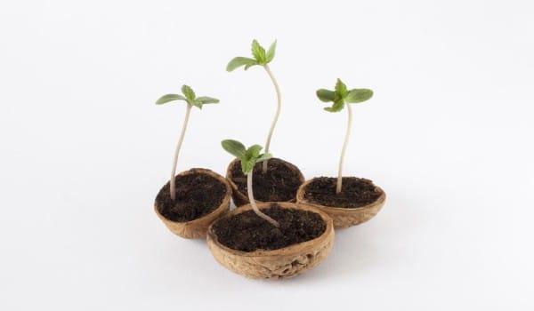 Marijuana seeds sprouting