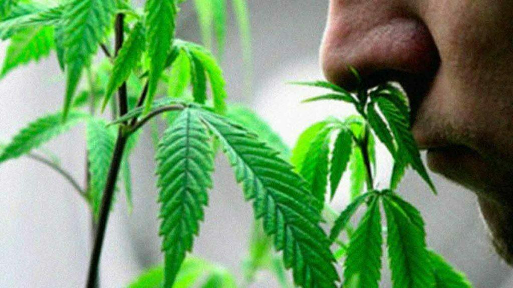 Marijuana tips and tricks to prevent marijuana odor