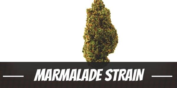 Marmalade Strain