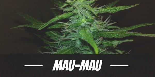 Mau-Mauj