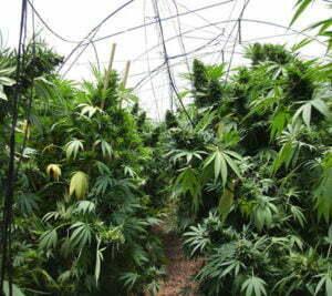 Maximizing your cannabis greenhouse setup 2
