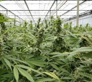 Maximizing your marijuana greenhouse setup 3