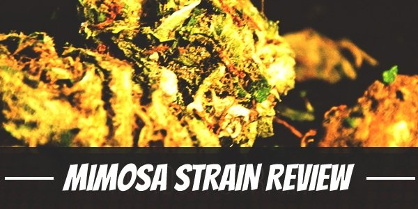 Mimosa Strain Review