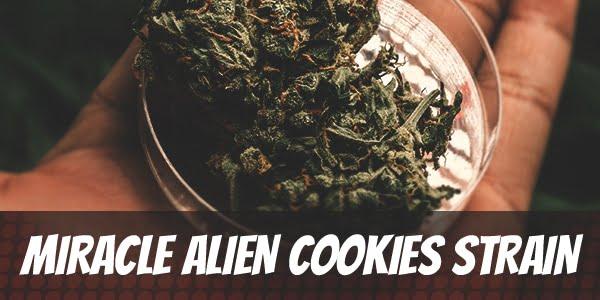 Miracle Alien Cookies Strain