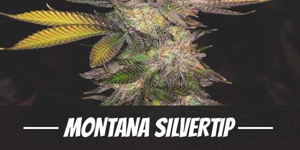 Montana Silvertip