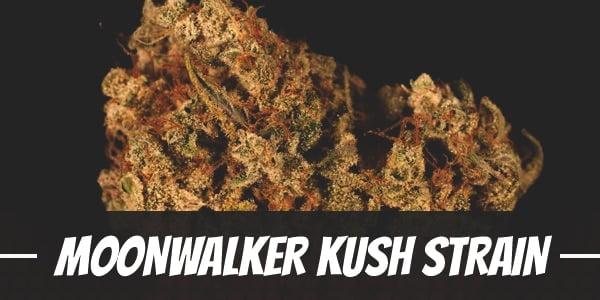 Moonwalker Kush Strain