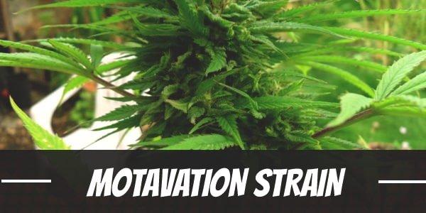 Motavation Strain