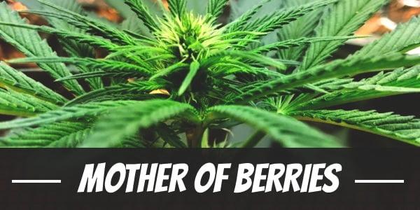 Mother Of Berries