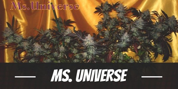 Ms. Universe