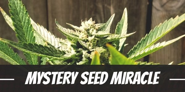 Mystery Seed Miracle