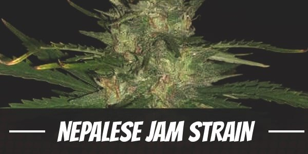 Nepalese Jam Strain