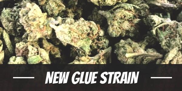 New Glue Strain