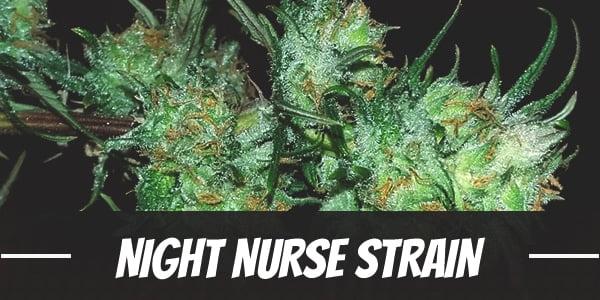 Night Nurse Strain