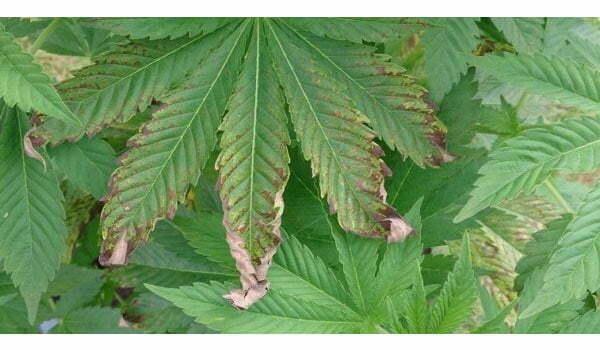 Nutrient burn on marijuana plants