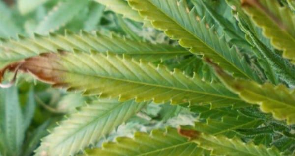 Nutrient burn - overfed marijuana plant