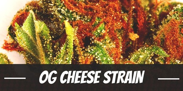 OG Cheese Strain