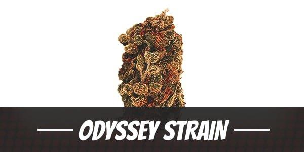 Odyssey Strain