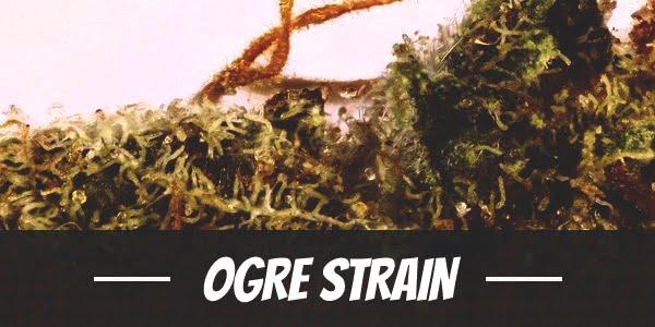 Ogre Strain