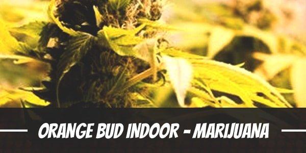 Orange Bud Indoor – Marijuana