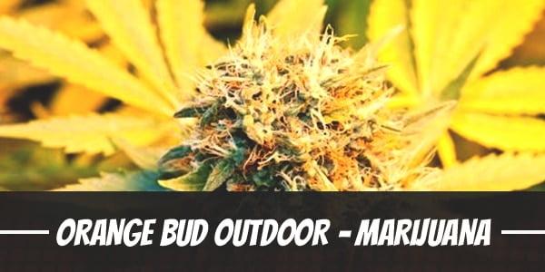 Orange Bud Outdoor – Marijuana