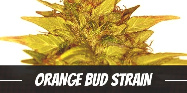 Orange Bud Strain