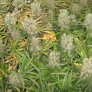 Orange Bud medicinal use